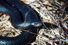 Red-bellied-Black-snake-Pseudechis-porphyriacus-Tatibah-via-Armidale-NSW-29-9-2006-SMT