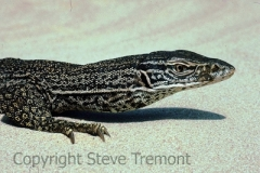 Sand-or-Goulds-Goanna-Varanus-gouldi-Cable-Beach-WA-20-7-1986-SMT-2