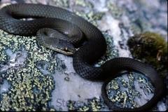 White-lipped-Snake-Drysdalia-coronoides-Irenabys-Franklin-River-TAS-9-1-1982-SMT-1