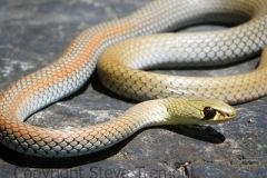 Yellow-faced-Whip-Snake-Demansia-psammophis-Salisbury-Waters-via-Dangars-Falls-Armidale-NSW-23-10-2011-SMT-2